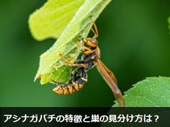 アシナガバチの特徴と巣の見分け方