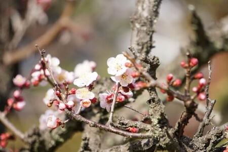 【梅の剪定】梅を剪定する前に梅の木の特徴を知ろう!