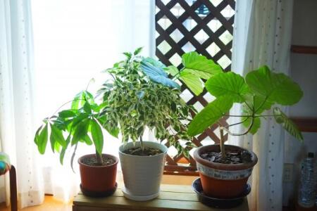なんで植木の葉っぱが黒い?葉っぱが黒くなるのは病気です!