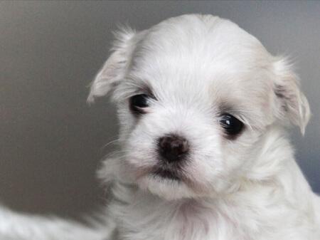 犬の病気「生後1年未満の子犬が注意すべき病気」