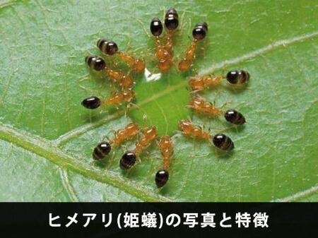 【ヒメアリの特徴】小さな黒い虫!?もしかしてヒメアリかも!