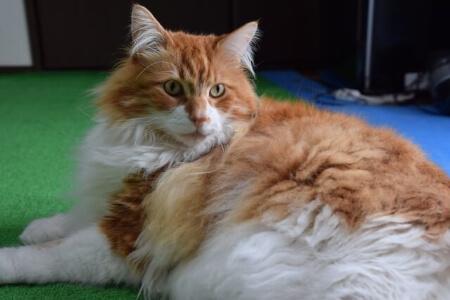 シャンプー&カットが必要な毛長猫の人気6種類