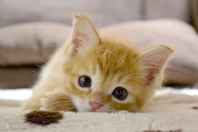 【猫のトリミング方法】自分でできる猫のトリミング方法と頻度を紹介