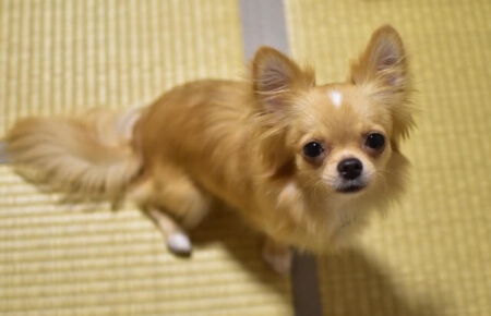 犬は畳が嫌い?畳の上は犬にとっていい環境ではないってホント?