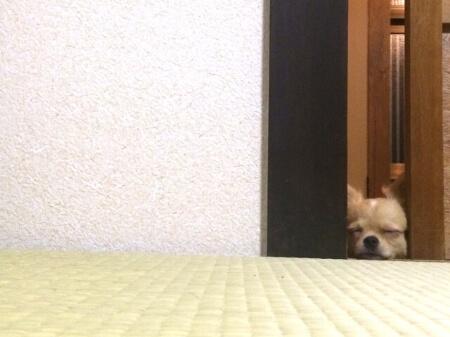 【犬が畳をボロボロにする】畳を対処する2つの方法