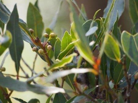 月桂樹(ローリエ)とは?月桂樹の特徴について知ろう!