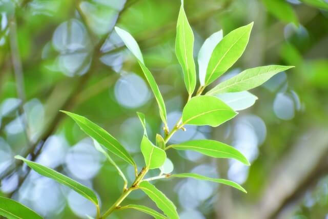 【月桂樹(ローリエ)の育て方】月桂樹の剪定方法や効能も合わせて解説