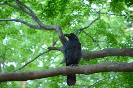 【カラスの生態】カラスはどんな野鳥?カラスの生態を知ろう!