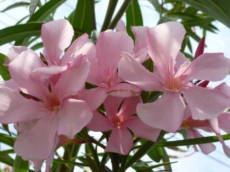 夾竹桃(キョウチクトウ)の代表品種を6種類紹介します!
