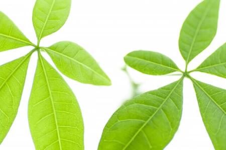 観葉植物のパキラは寒さには非常に弱い植物です