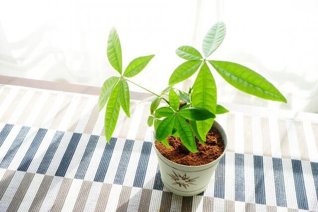 【観葉植物】パキラは剪定が必要です!自分でパキラを剪定する方法を知ろう!