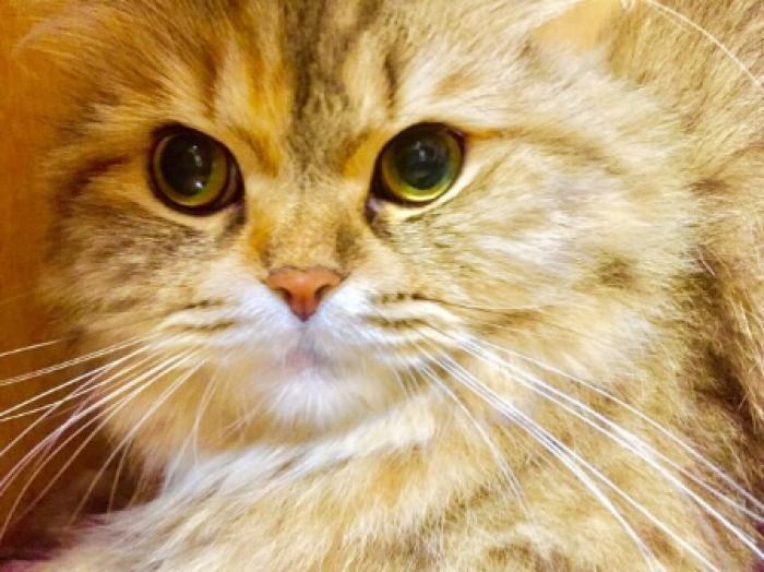 【チンチラ(猫)の性格や特徴】チンチラ(猫)飼い方とお世話の基本