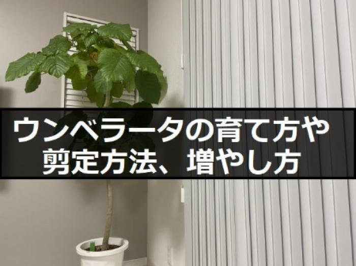 【ウンベラータ(観葉植物)】ウンベラータの育て方や剪定する方法