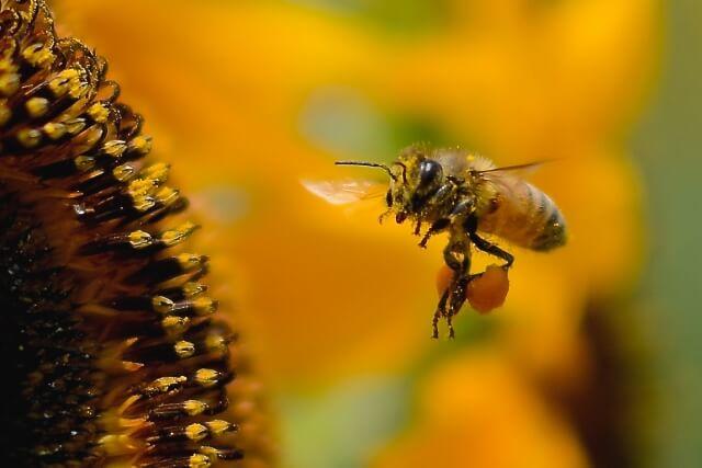 【蜂の巣の種類】はちみつを作るミツバチの特徴について知ろう!