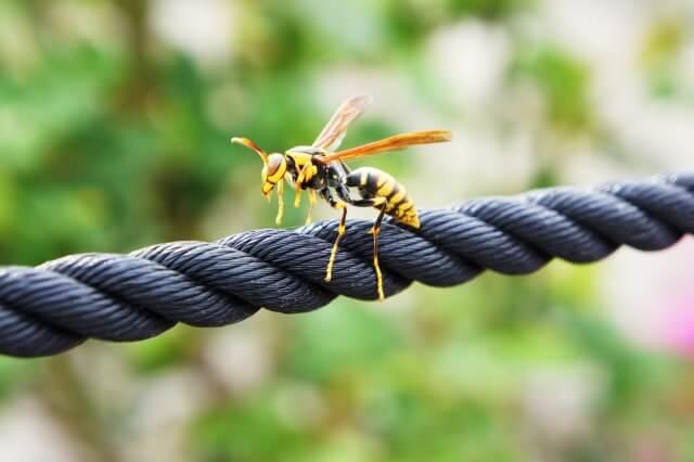 【蜂の巣の種類】あなどれないアシナガバチの特徴について知ろう!
