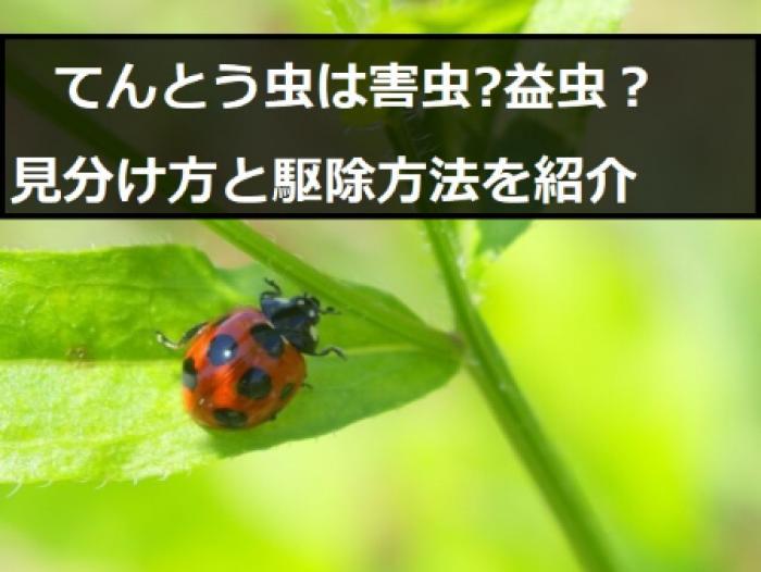 テントウムシダマシには注意!てんとう虫にそっくりの害虫は駆除すべき