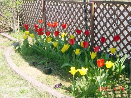 【チューリップの種類】チューリップの咲き方や花色の種類