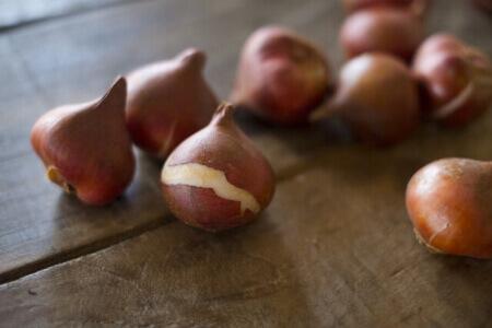 咲き終わったチューリップの球根を保存する方法