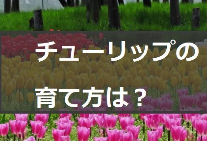 【チューリップの育て方】チューリップの植え方や咲き終わった球根の保存