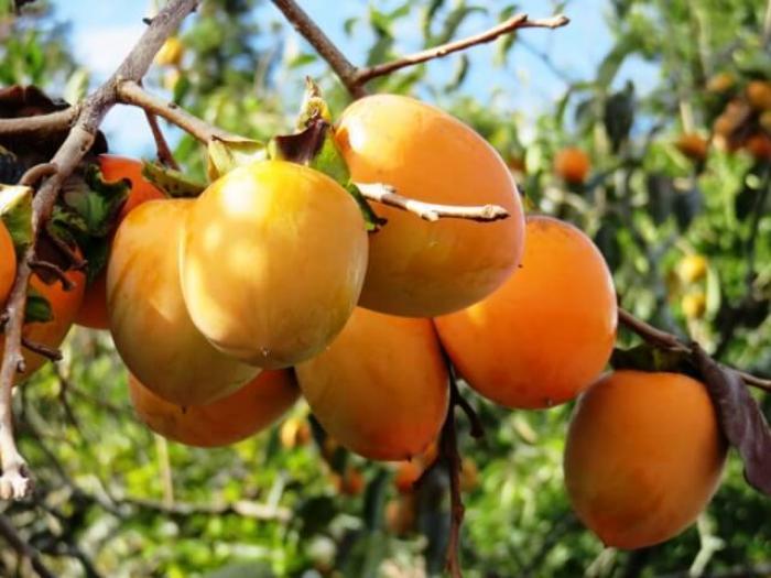 【柿の木の剪定】適切な剪定で秋の実りを楽しく!柿の剪定方法を紹介