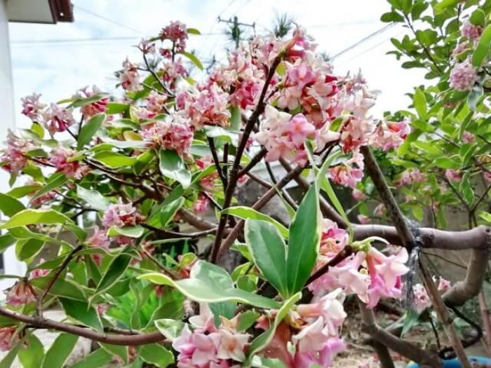 【沈丁花(ジンチョウゲ)】沈丁花の特徴や剪定する方法のまとめて紹介