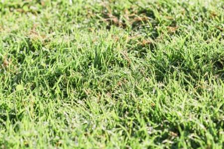 【芝生の雑草】芝生に生える7種類の雑草の特徴を知ろう!