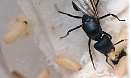 【女王アリの産卵】シロアリの女王アリが産卵する数が凄い!