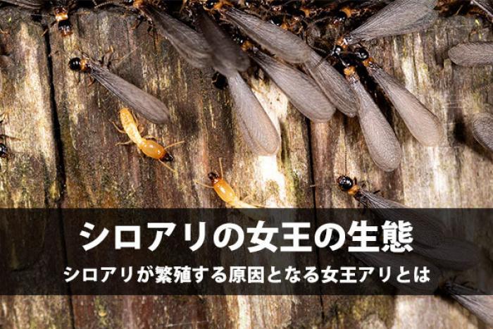 【女王アリの特徴】白蟻の女王アリは産卵する数が物凄い!?対処方法を知ろう!