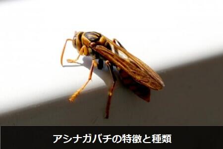 【蜂の種類】強い毒性に注意!アシナガバチの特徴と種類