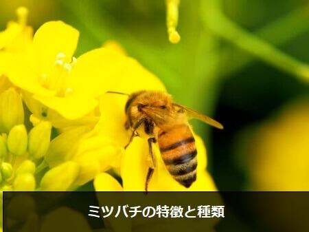 【蜂の種類】比較的穏やかなミツバチ(蜜蜂)の特徴と種類