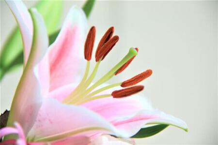 【基本】百合の種類と開花時期について知ろう!