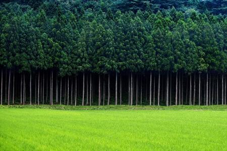 【杉の伐採】伐採する前に日本に杉の木が多い理由を知ろう!