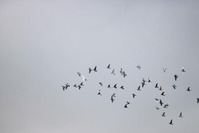 【鳩の駆除】自分で(ハト)鳩を駆除する方法や予防する方法のまとめ
