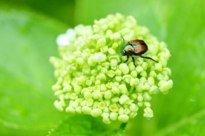 コガネムシは幼虫にも注意しよう!コガネムシの特徴や駆除方法まとめ