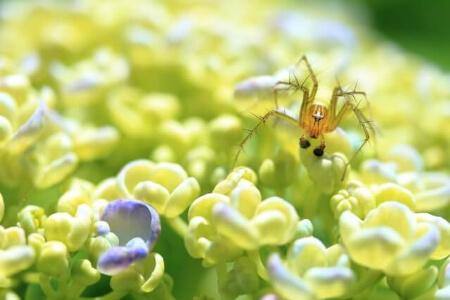 日本にいるハエトリグモは3種類に分かれます!