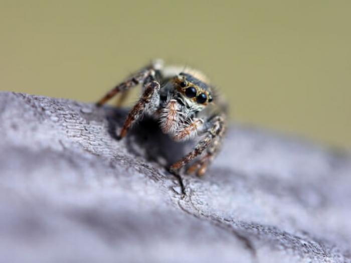 家の中を飛び回るハエトリグモに悩んでませんか?ハエトリグモの特徴と駆除方法