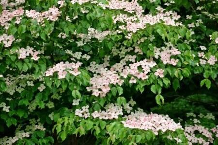 【ヤマボウシの剪定】ヤマボウシが庭木として人気な理由