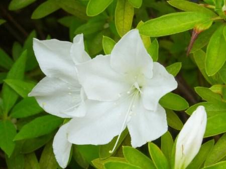 【ツツジの剪定】ツツジの花が咲かなくなる4つの原因を知ろう!
