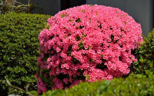 【ツツジの剪定】花が咲き終わったら正しい方法でツツジを剪定しよう!