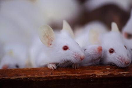 日本人は知らない!?「マウス」と「ラット」の違いを知ろう!