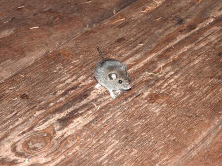 家にいるネズミ(ラット)を駆除するなら依頼した方がいい理由