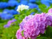【あじさいの剪定】紫陽花(あじさい)の剪定方法や時期を知ろう!